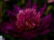 Purple tropical flower taken in outdoor garden Royalty Free Stock Photos