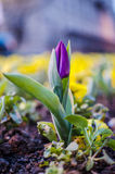 Close up of a purple  tulip Royalty Free Stock Photo