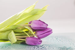 Close up on purple tulips Stock Photography
