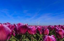 Close up Purple Tulips Stock Photo