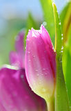 Close up of purple tulips Stock Photography