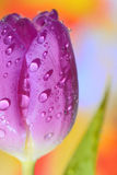 Close up of purple tulips Stock Images