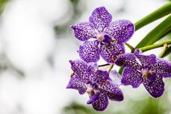 Close up purple Vanda coerulea orchid Royalty Free Stock Photos