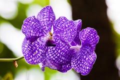 Close up purple Vanda coerulea orchid Stock Photos