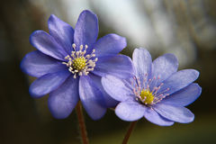 Close up of purple violet flowers Hepatica nobilis, Common Hepa Royalty Free Stock Images