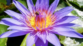 Close-up purple water lilly flower and bee attach Stock Photography