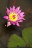 Close-up of purple water lily and leaf Stock Photography
