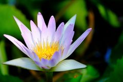 Close up purple waterlily flower blossom in a botanical garden and in a pond royalty free stock image