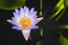 Close-up of a Purple Waterlily Stock Photo