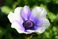 Anemone flower. Close up of a purple and white anemone flower in bloom stock photos