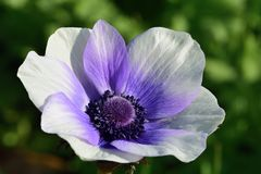 Anemone flower. Close up of a purple and white anemone flower in bloom royalty free stock photo