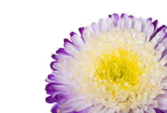 Close-up purple-white aster isolated Royalty Free Stock Image