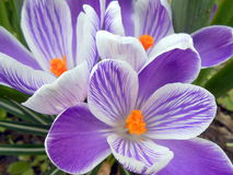 Close-up of purple and white crocuses. With orange stemons Stock Photo
