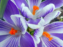 Close-up of purple and white crocuses. With orange stemons Royalty Free Stock Photo