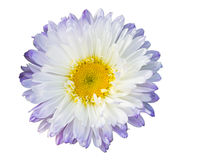 Close up of purple white daisy in white Royalty Free Stock Photos