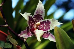 Close up of purple and white orchid flower. Wonderful tropical purple and white orchid flowers Stock Photography