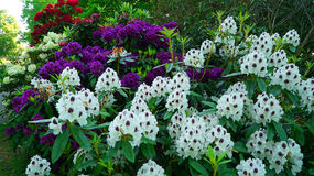 Close-up of purple and white rhododendron flowers. Royalty Free Stock Photography