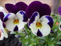 Close-up of a purple white violet Stock Photos