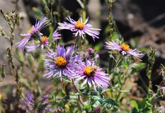 Purple Asters in the afternoon sun Stock Photography