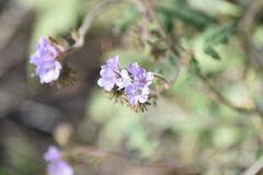 Close up of purple wildflowers. In the desert Stock Photo