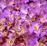 Close up of purple and yellow cluster of hydrangea flowers Stock Photos
