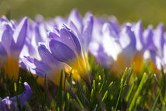 Close up of purple and yellow crocuses Royalty Free Stock Photos
