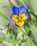 Pansy flower Royalty Free Stock Images