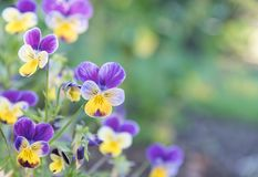 Close-up of purple and yellow violas blooming in spring garden. Purple and Yellow Johnny Jump-Ups Violas blooming in garden border with green background Stock Photography