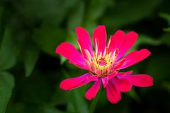 Close up of purple Zinnia flower stock image