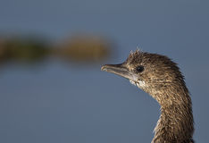 Close-up of a Pygmy Cormorant. A close up of a pygmy cormorant stock photography