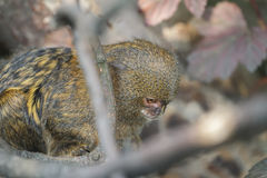 Close up of pygmy marmoset or Cebuella pygmaea the world's smallest monkey Stock Photo