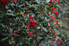 Close up on pyracantha  coccinea plant flower and leaf Stock Photo