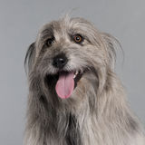 Close-up of Pyrenean Shepherd dog Royalty Free Stock Images