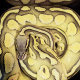 Close up of a python snake Royalty Free Stock Images