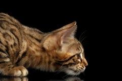 Close up que caça pouco Bengal Kitty Stare, fundo preto isolado Imagens de Stock Royalty Free