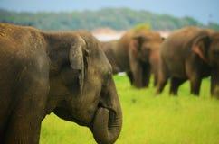 Close-up que come o elefante em Sri Lanka Imagens de Stock