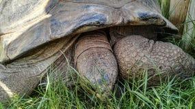 Close up que vê o detalhe e a textura da tartaruga velha grande que come a grama Fotografia de Stock Royalty Free