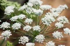 Close up queen annes lace Royalty Free Stock Photo