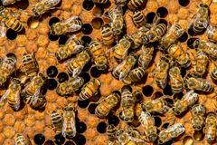 The queen bee swarm - selective focus. Close up of queen bee swarm - selective focus Royalty Free Stock Images