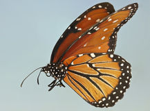 A Close Up of a Queen Butterfly Stock Image