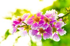 Close up of Queen's Flower or Queen's crape myrtle on bokeh nature background royalty free stock photo