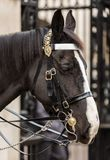 Close-up of Queen's Royal Guard Horse Royalty Free Stock Photography