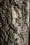 Quercus suber close up. Close up of a Quercus suber bark royalty free stock images