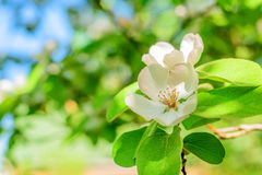 Close-up of quince flower. Beautiful lush quince flower blooming in spring Stock Photos
