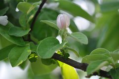 Quince flowers. Close up of quince flower Stock Photography