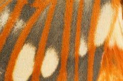 Close-up régio da asa da traça Imagens de Stock Royalty Free