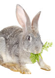 Close-up rabbit Stock Images
