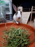 Rabbit bunny eating grass. Close up of a rabbit bunny eating grass stock photo