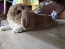 Rabbit bunny Holland lop brown color royalty free stock image