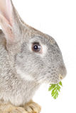 Close-up rabbit eating leaf Stock Photos